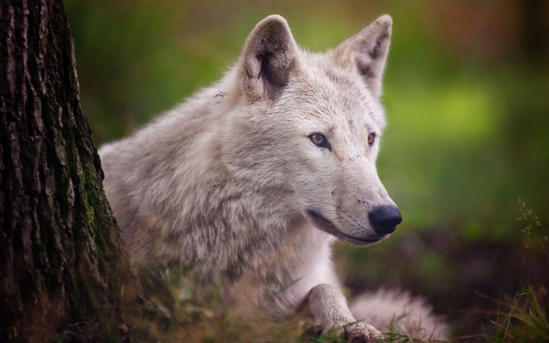 animals wolf wolves wildlife nature predator fur eyes face stare look trees forests Landscapes wallpaper
