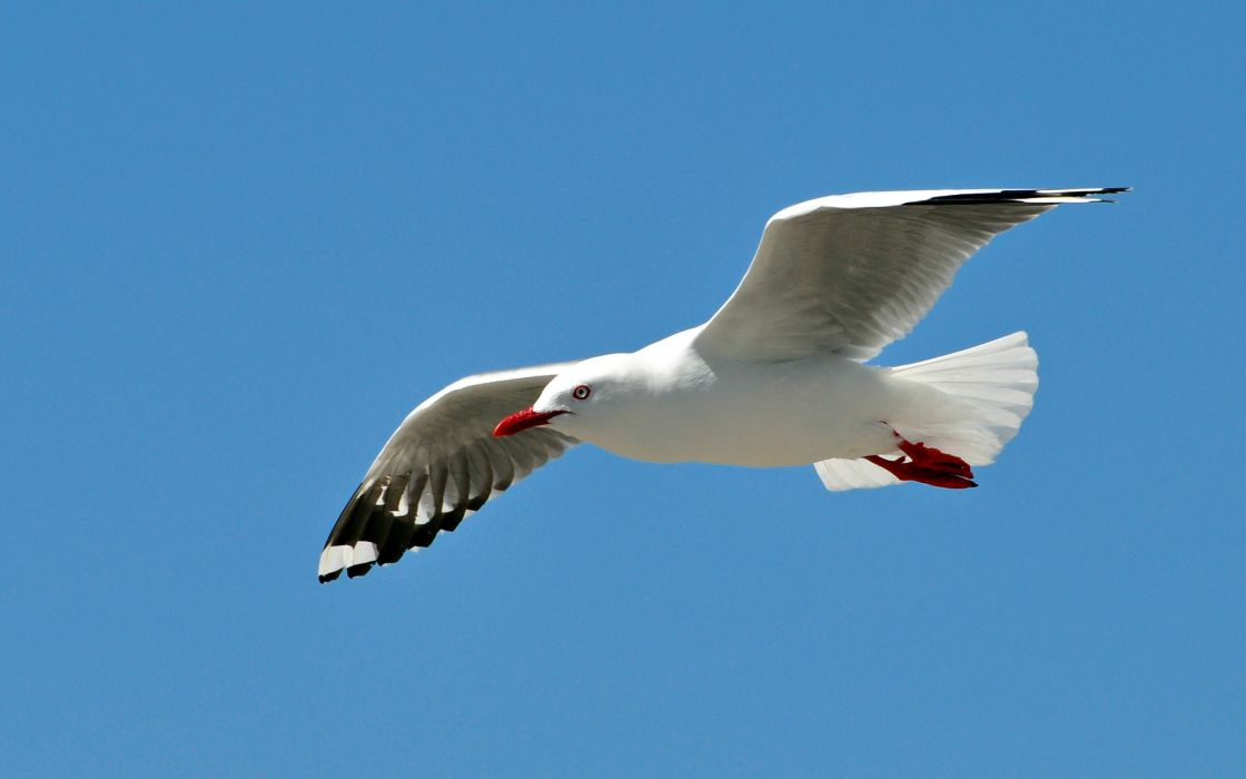 animals birds seagulls gulls wildlife wings flight fly sky nature feathers wallpaper