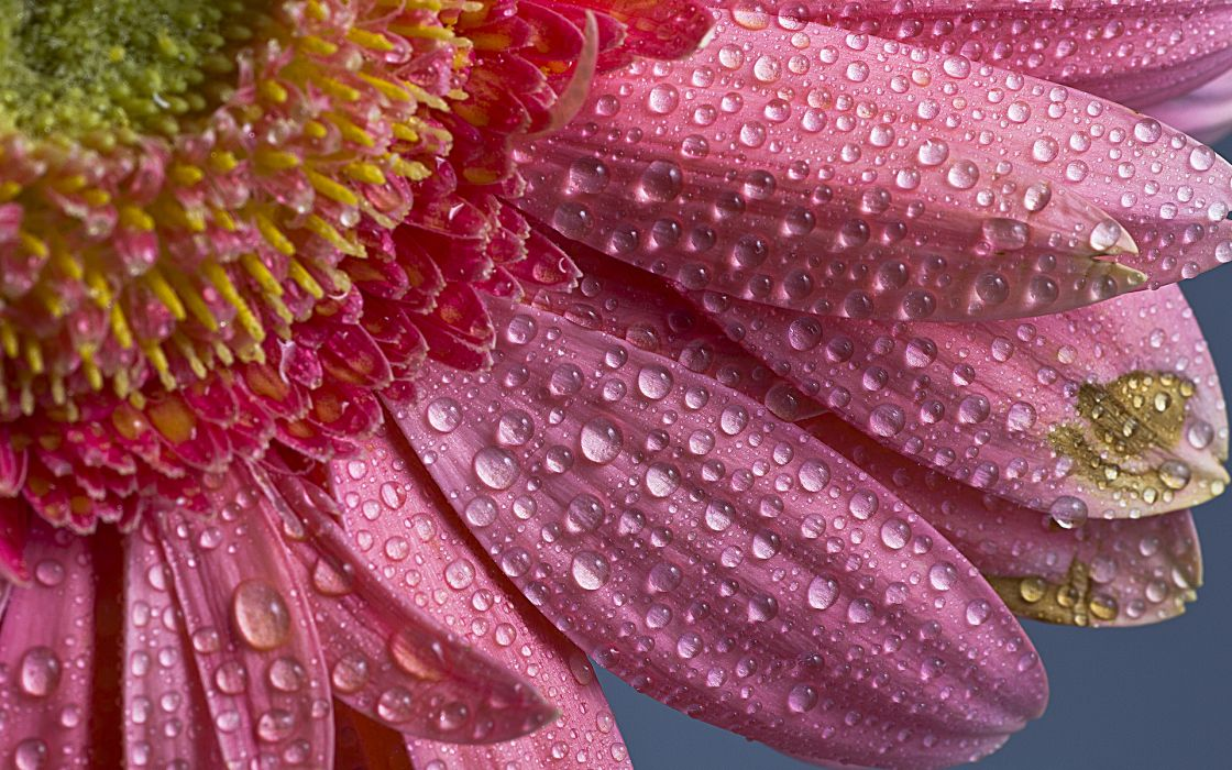 nature flowers water drops petals close up pollen spring seasons pink wallpaper