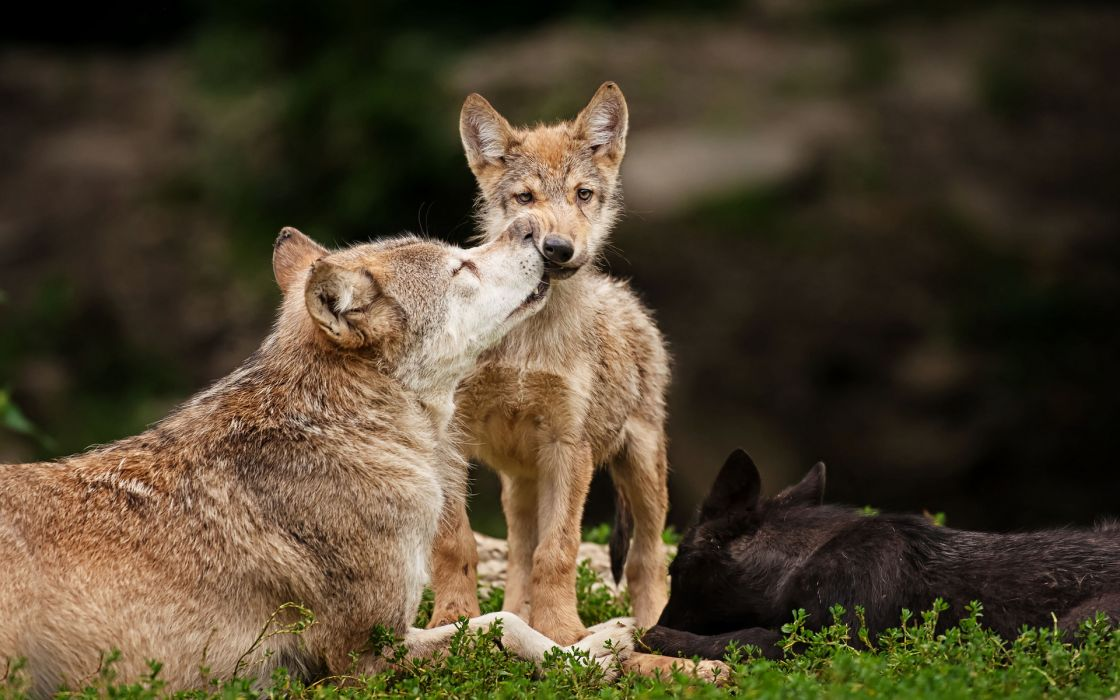 animals wolf wolves wildlife predators babies cubs mother mom love cute face eyes stare look fur whiskers wallpaper