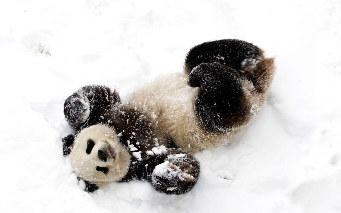 panda animals bears mood emotion happy fur contrast face eyes winter snow seasons nature wildlife wallpaper