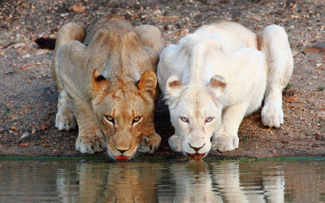 animals cats predator lions contrast albino fur whiskers face eyes wildlife africa lakes water pond wallpaper