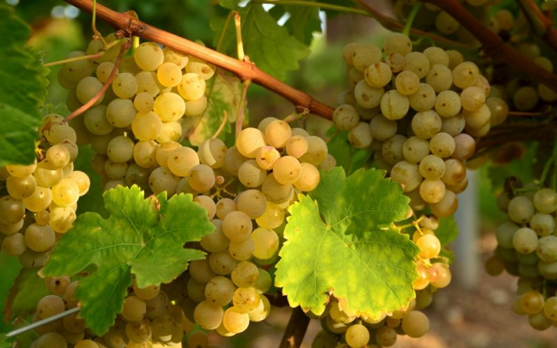 food grapes vines vineyard fruit farm sunlight nature wallpaper