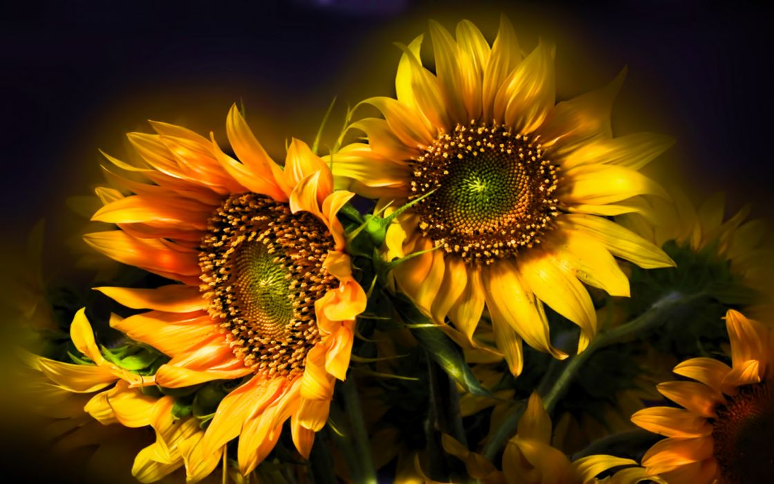 nature flowers still life bouquets sunflowers seed petals yellow thanksgiving seasonal yellow color soft contrast wallpaper