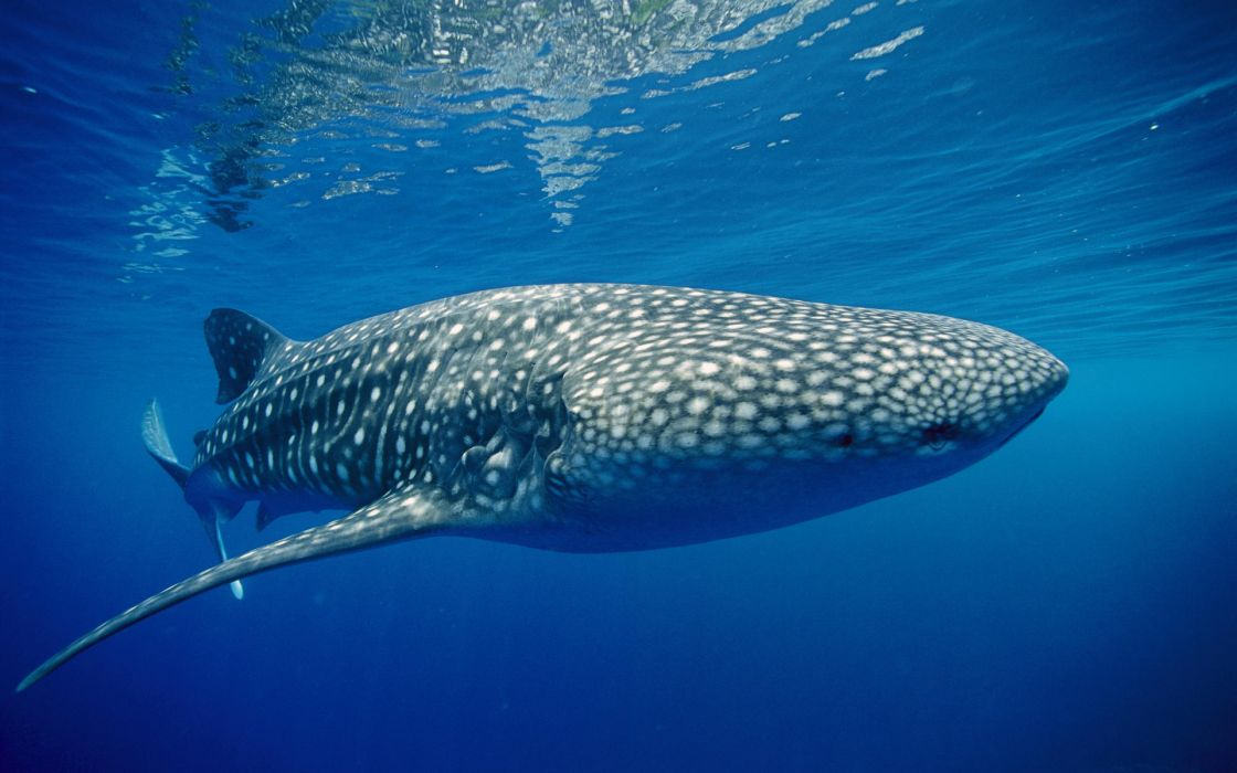 animals whales underwater ocean sea water spots fins eyes nature wildlife sealife wallpaper