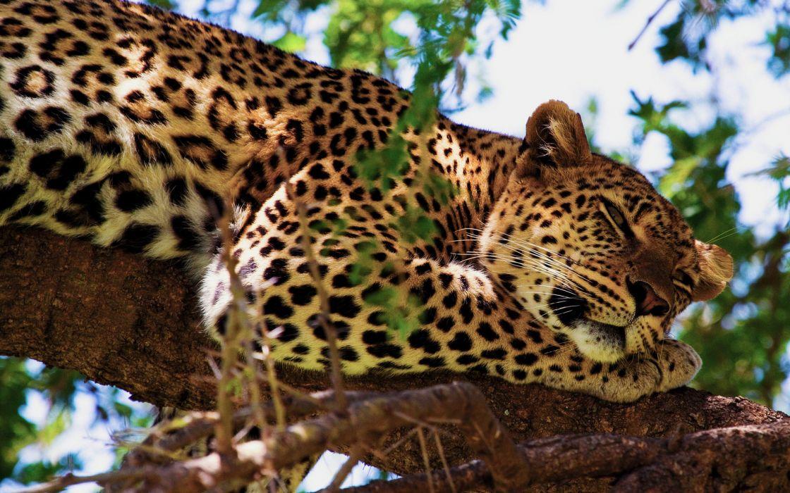 Jaguar animals cats predators trees africa safari spots face eyes whiskers wallpaper