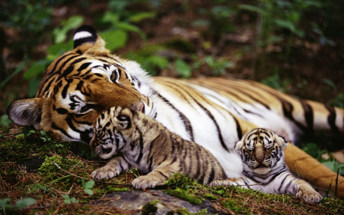 Tigers animals cats babies mother mom mood emotion love children stripes patterns color contrast trees forests zoo wildlife predator cute plants vegetation wallpaper