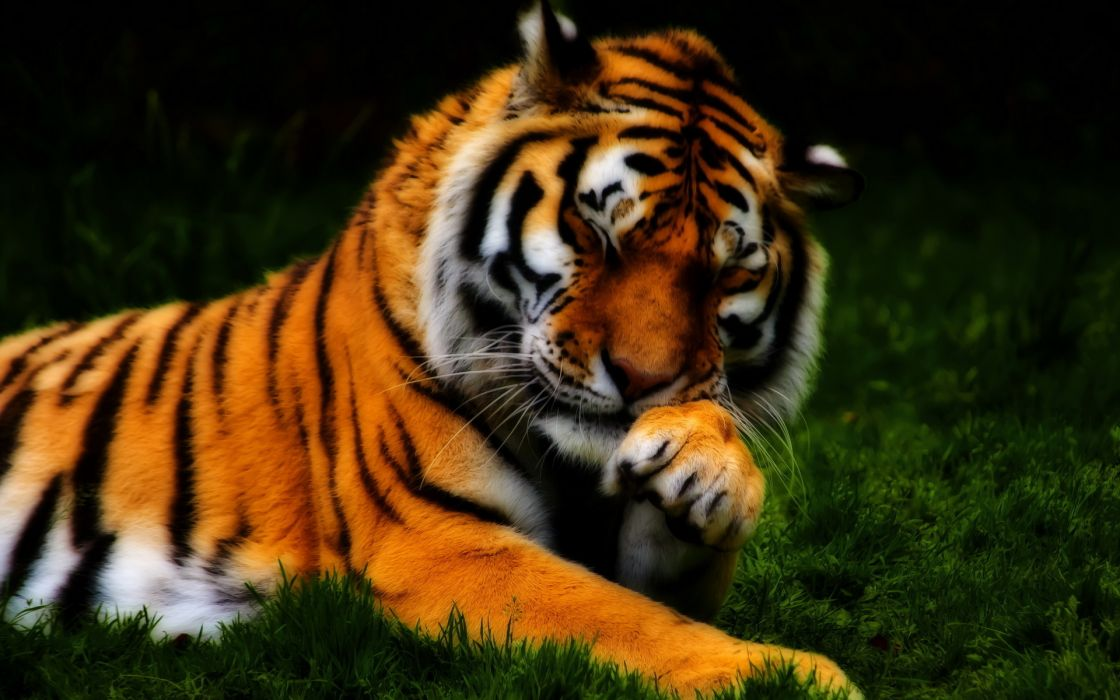 Tiger animals cats paw face whiskers color contrast stripes pattern orange plants nature wildlife zoo predator abstract wallpaper