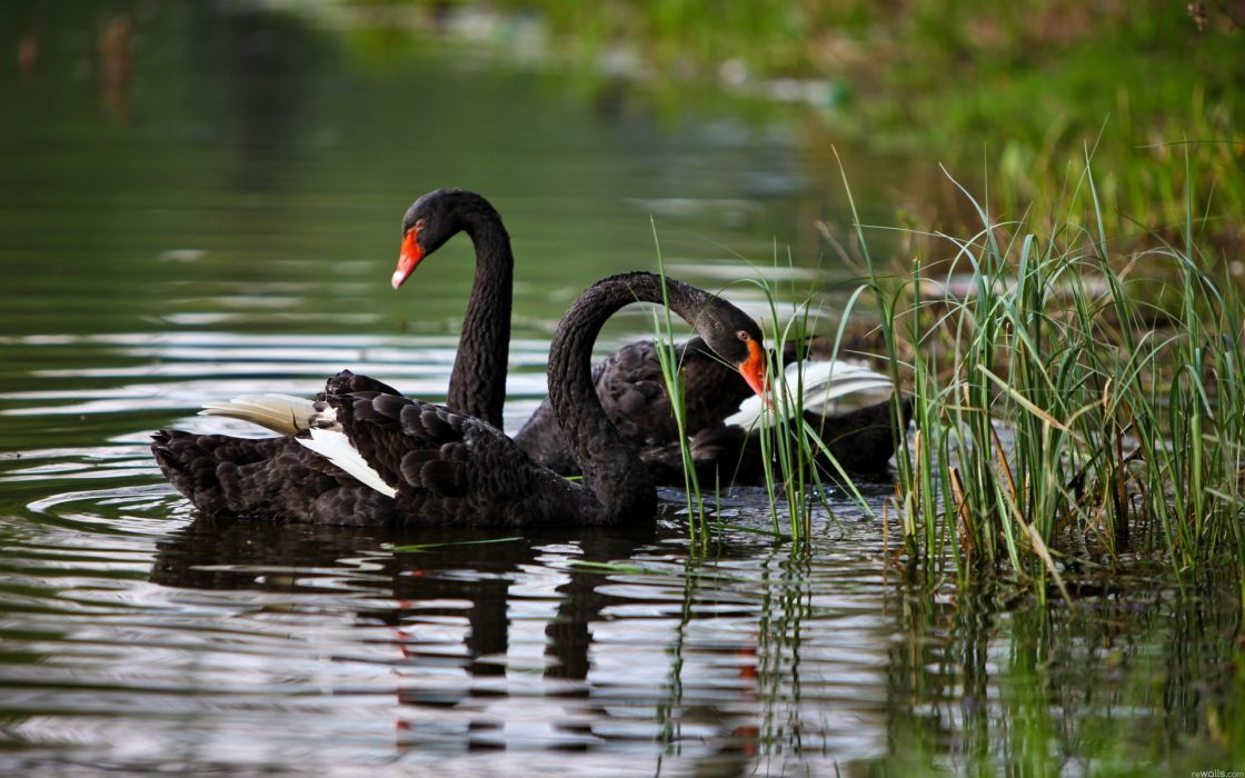 Swans animals birds feathers contrast lakes pond water swim float grass shore wildlife reflection reeds wallpaper