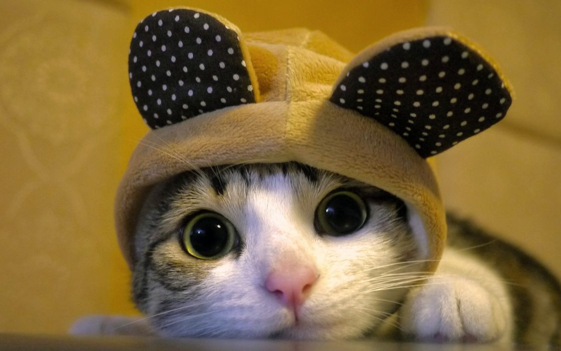 animals cats ears hat humor funny cute feline face eyes whiskers fur costume look stare pov wallpaper