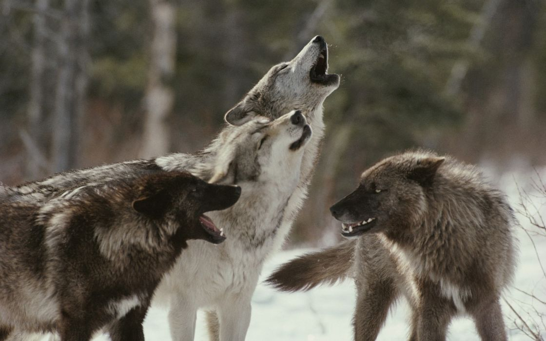 animals wolves wolf trees forest wildlife predator winter snow howl muzzle fangs mood emotion fur wallpaper