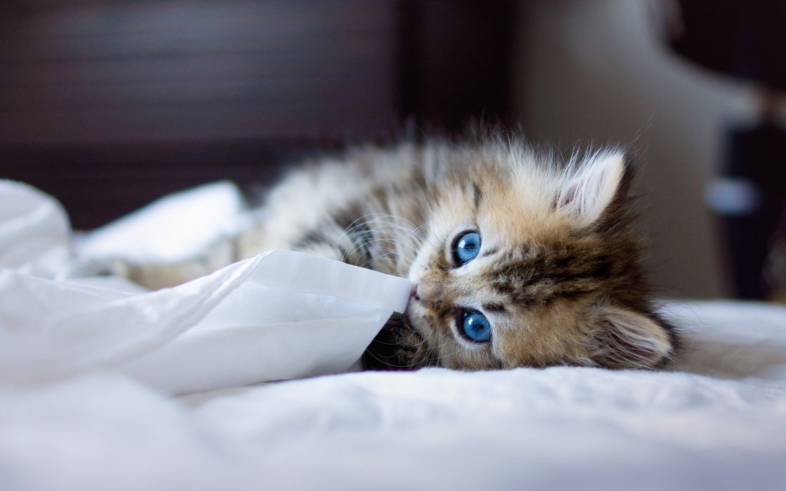animals cats felines kittens face eyes blue whiskers play cute fur look stare babies wallpaper