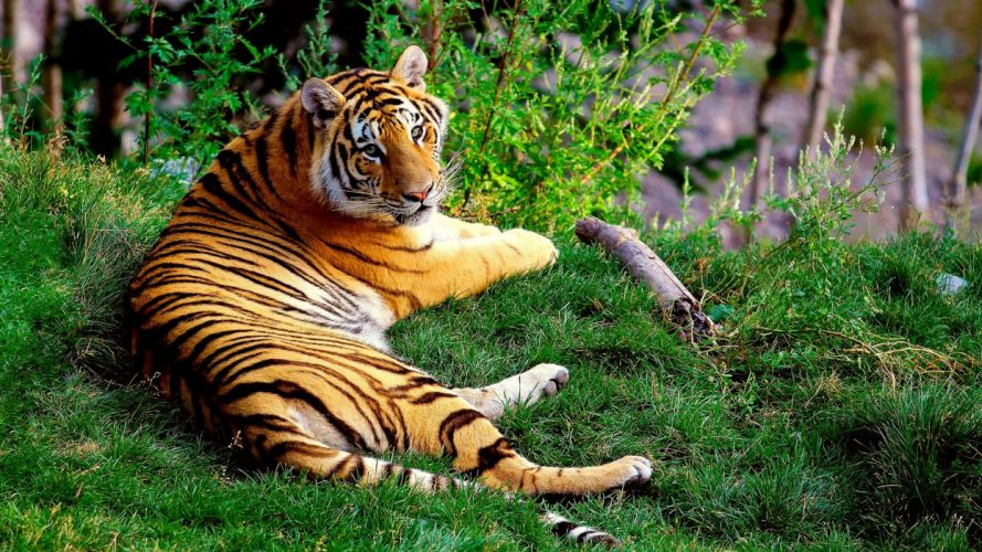 animals cats tigers stripes color pattern wildlife predator landscapes grass green plants trees contrast wallpaper