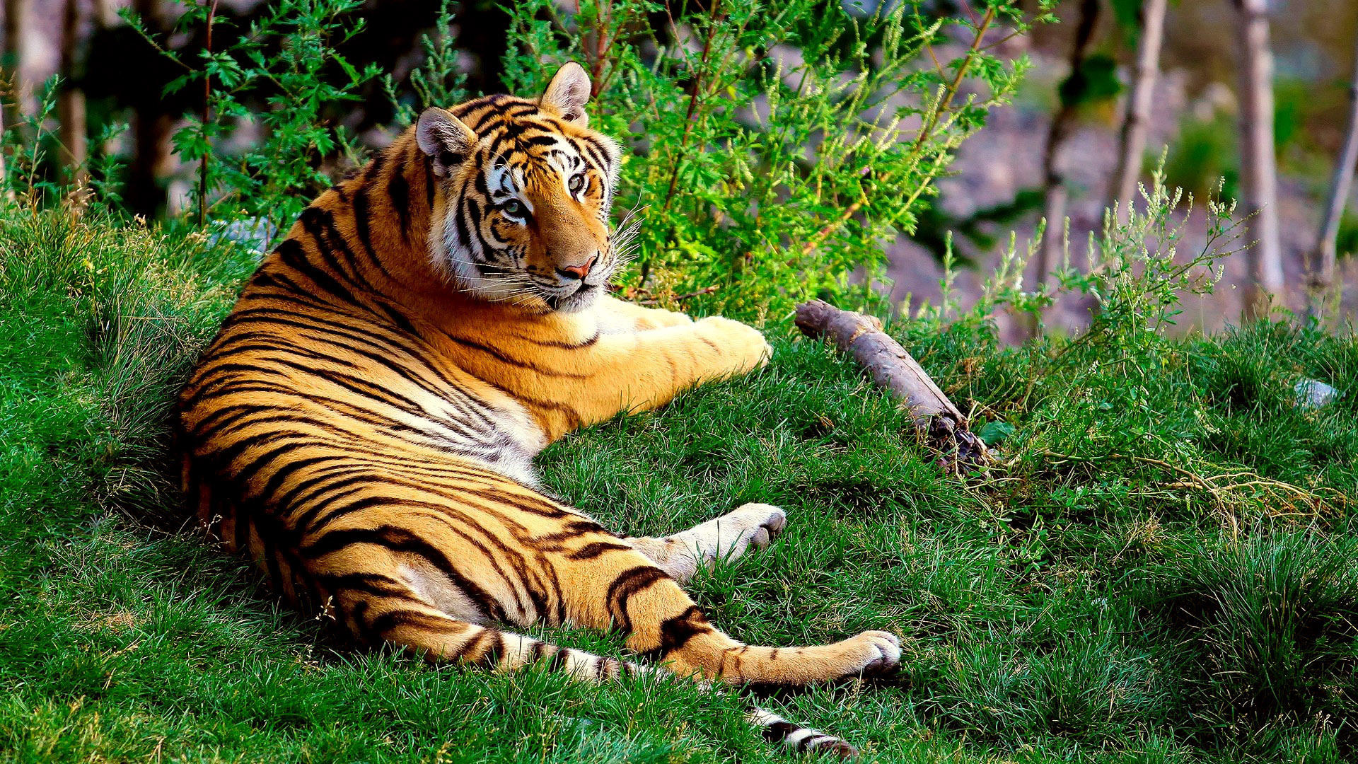 Animals cats tigers stripes color pattern wildlife ...