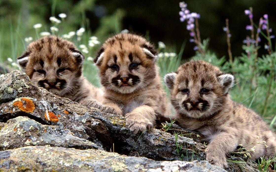 Mountain Lion Cubs Cougars animals cats babies fur faces eyes whiskers rocks wildlife predators flowers grass cute children wallpaper