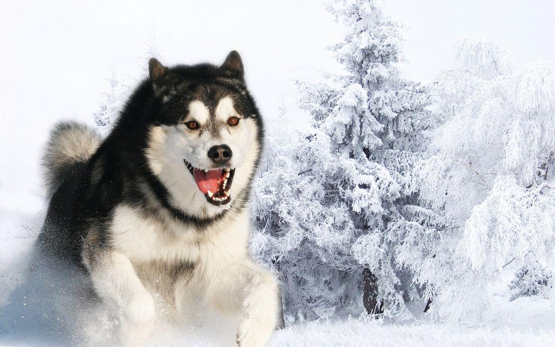 Husky eskimo animals dogs fur fangs run motion landscapes predator wildlife trees forests winter snow seasons face eyes fur wallpaper