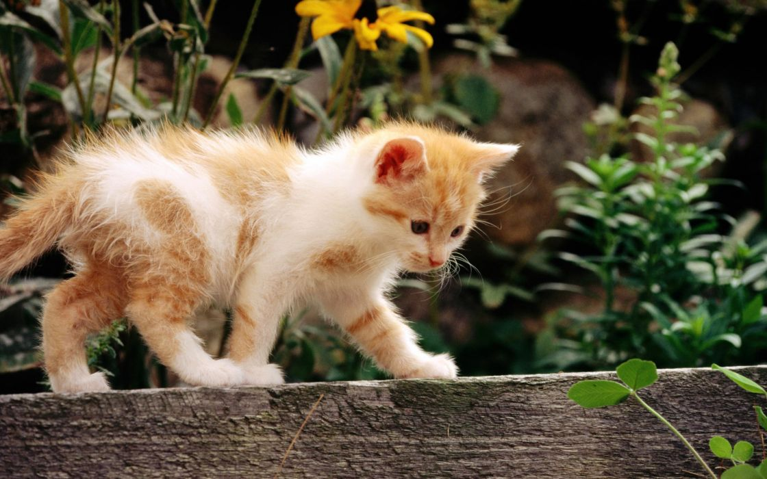 animals cats felines kittens fur whiskers face eyes paws plants garden wood flowers babies cute wallpaper