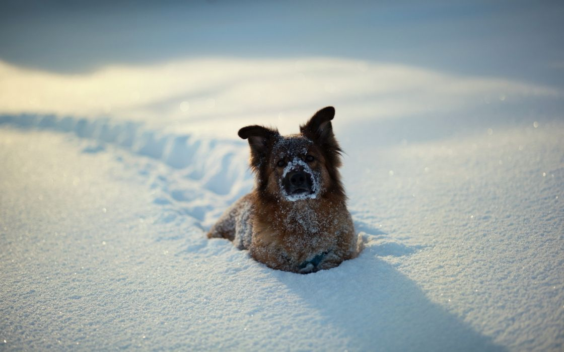 animals dogs canines humor funny cute fur face eyes tracks foot prints trail path winter snow seasons white sunlight sparkle wallpaper