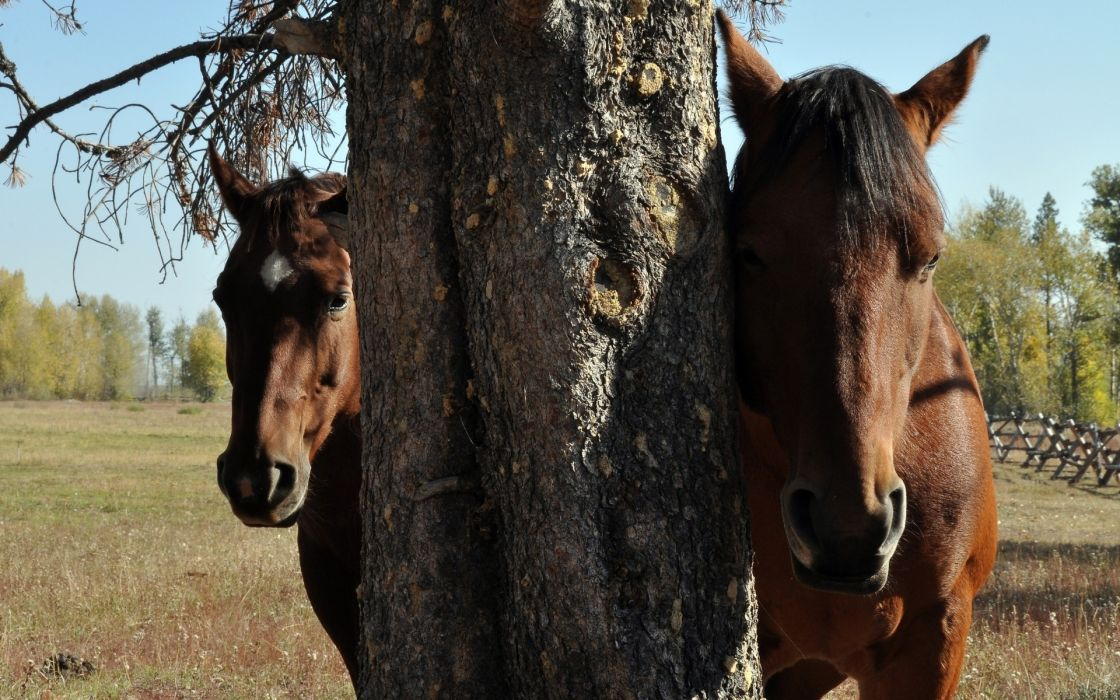 animals horses face eyes trees farm fields pasture fence sky bark branches limbs twigs nature farm wallpaper