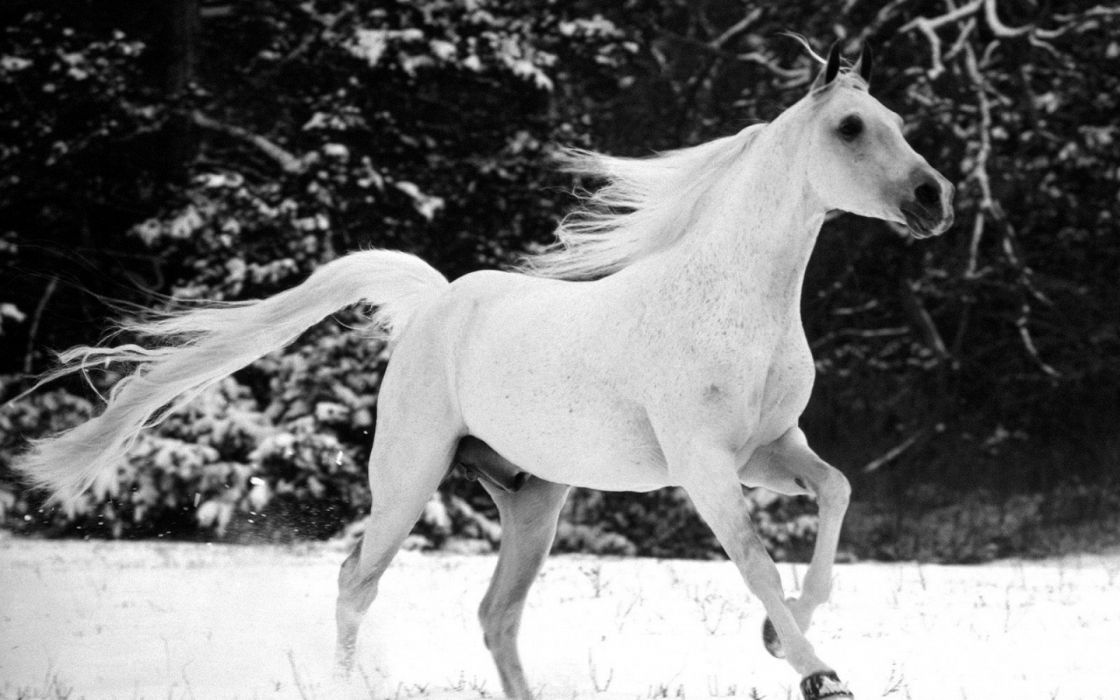 animals horses black white bw landscapes nature fields pasture trees forests winter snow seasons motion face eyes wallpaper