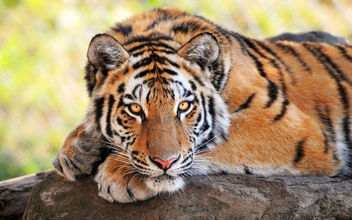Tigers animals cats color face eyes stare look stripes patterns wildlife predator wallpaper