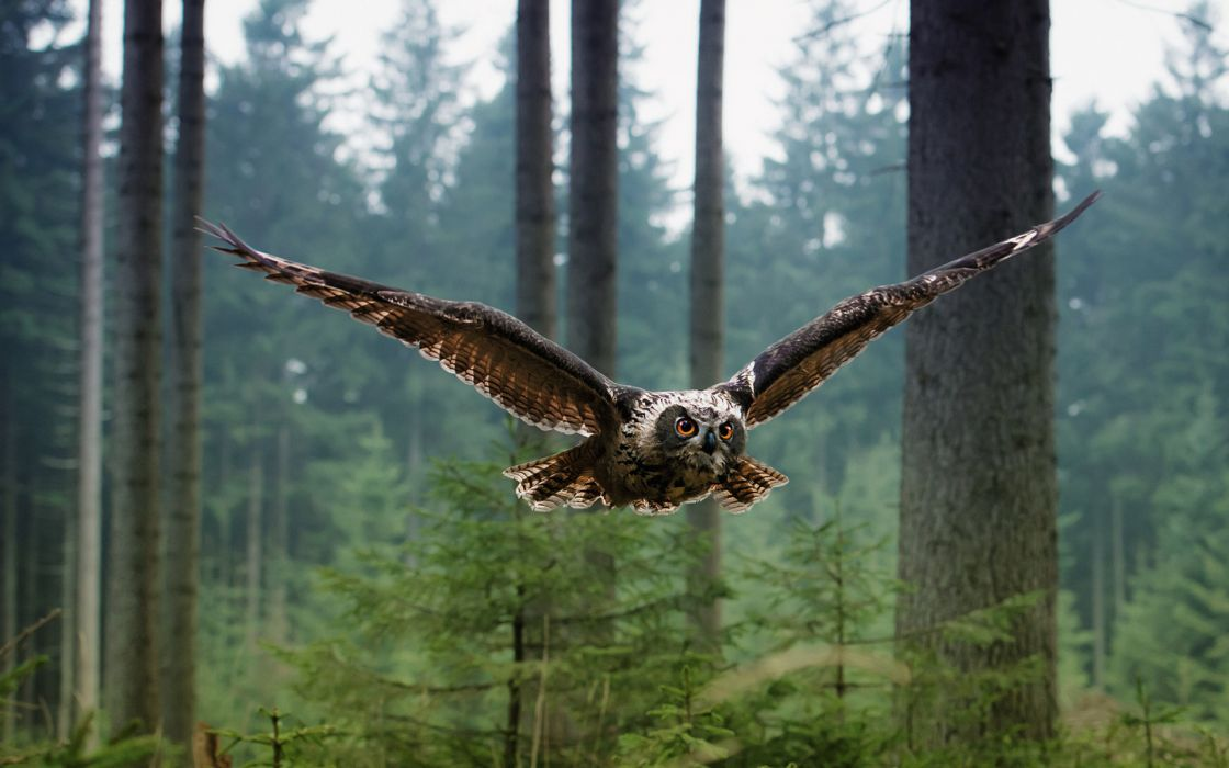 Owls animals birds wildlife predator wings feathers flight fly air nature landscapes trees forest wallpaper