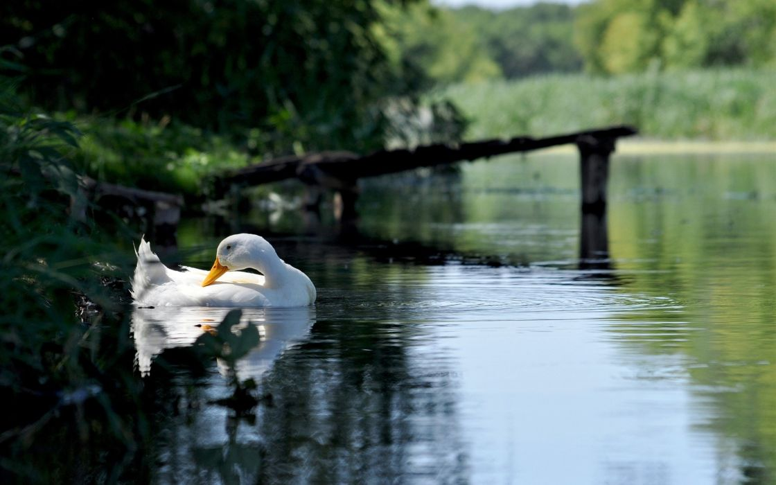 animals birds duck geese feathers eyes swim float lakes nature pond ripple reflection trees plants wildlife wallpaper