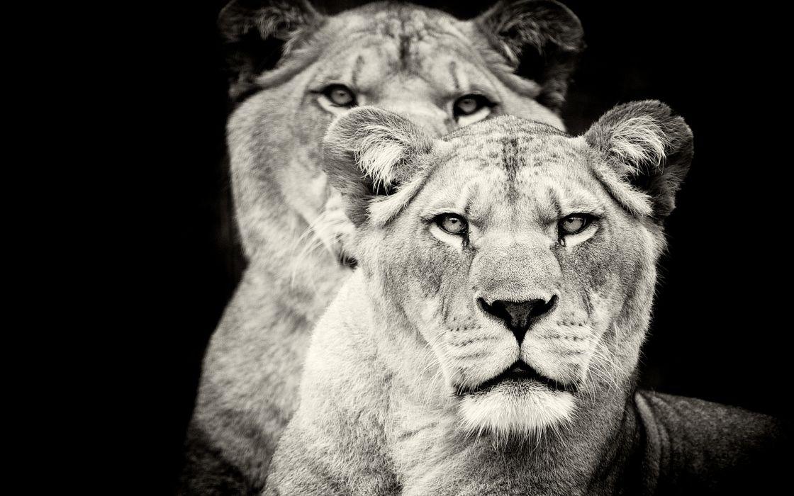 Lions animals cats monochrome black white face eyes whiskers wildlife predator wallpaper
