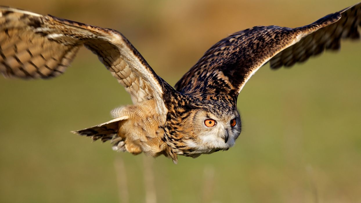 Owls animals birds predator raptor flight fly feathers wings eyes face wildlife wallpaper