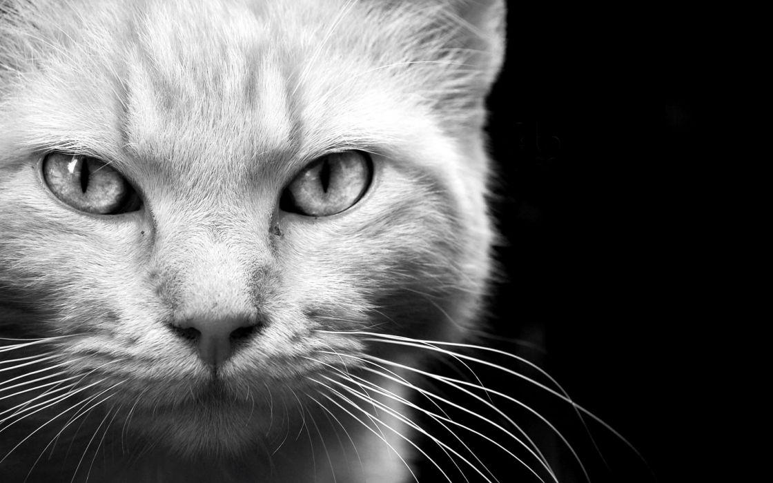 animals cats felines face eyes whiskers fur black white monochrome wallpaper