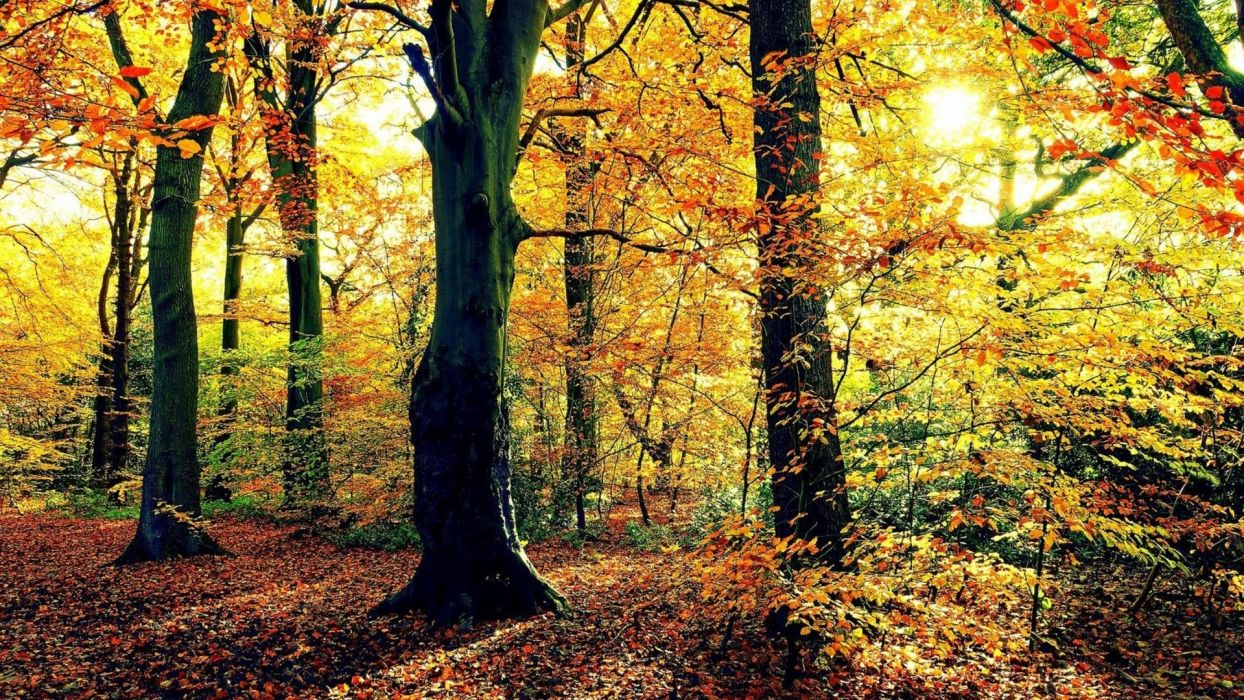 nature landscapes trees forests leaves trunk bark autumn fall seasons sunlight color bright wallpaper