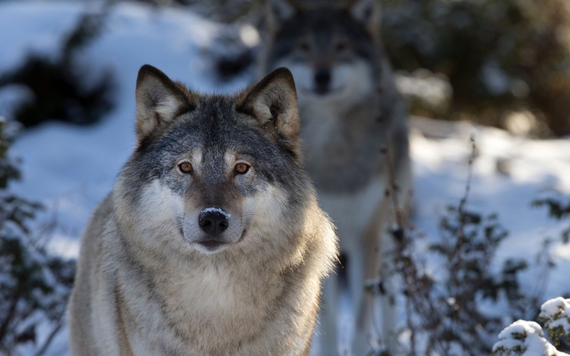 Wolves wolf animals dogs nature wildlife predator fur whiskers eyes stare pack plants trees forest winter snow seasons wallpaper