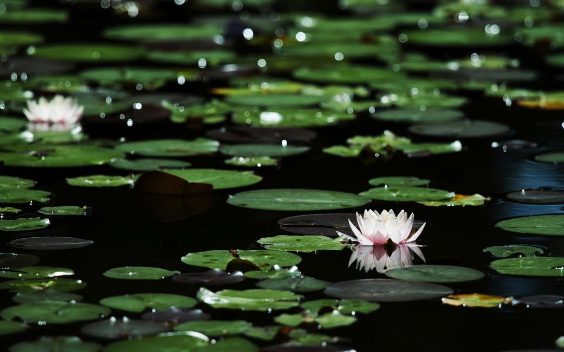 Flowers lily lilies foliage bokeh pond lakes nature petals plants pads water reflection macro sparkle sunlight wallpaper