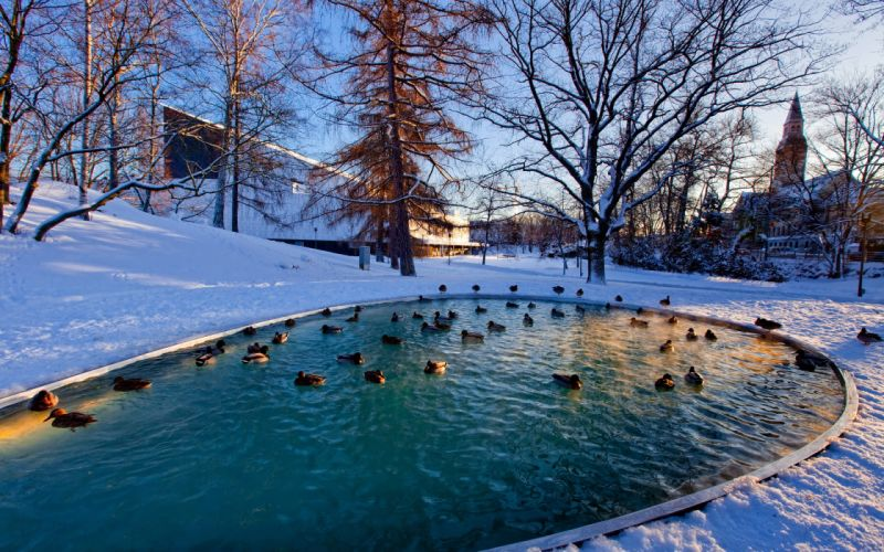 nature landscapes trees park garden pond lakes water winter snow seasons cold animals birds ducks wildlife feathers wallpaper