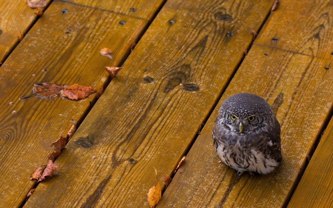 animals birds owls wood babies cute predator eyes feather rain wet leaves autumn fall seasons wallpaper