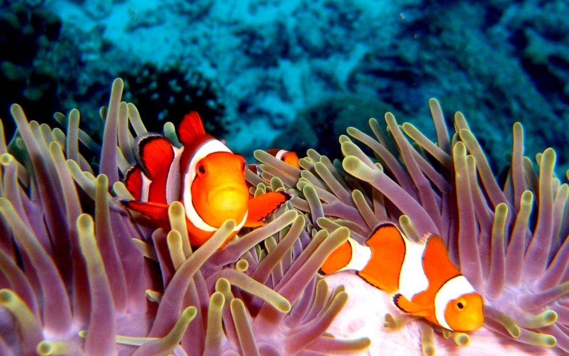clownfish sea anemones tropical animals fishes reef coral ocean sea sealife life underwater water stipes pattern wallpaper