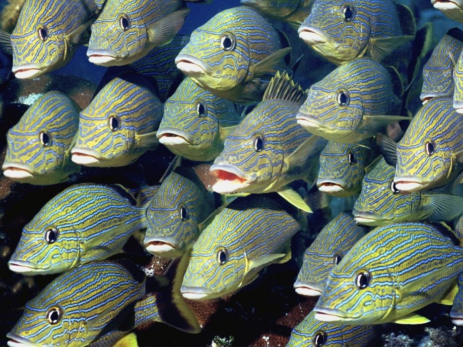 animals fishes sea life sealife underwater tropical ocean sea stripes spots color bright fins eyes faces wallpaper