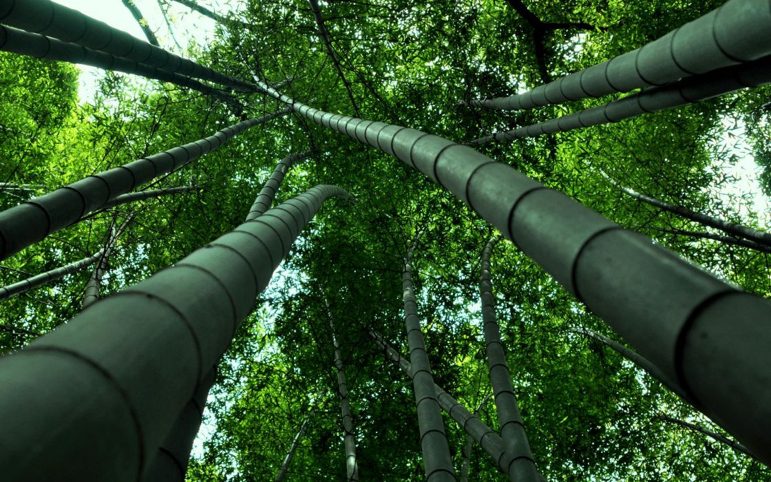 Bamboo natures trees forests green plants leaves leaf trunk stalk wallpaper