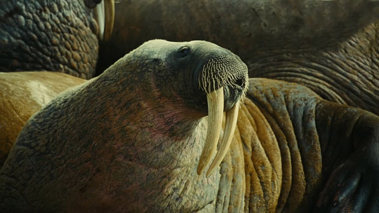 To the Arctic 3D walrus tusks animals other whiskers sealife wild life life face eyes wallpaper