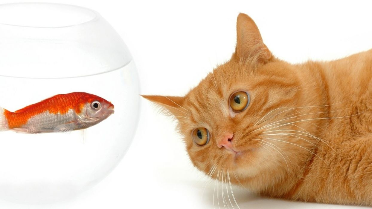 animals fishes cats felines face eyes humor funny cute contrast color wallpaper