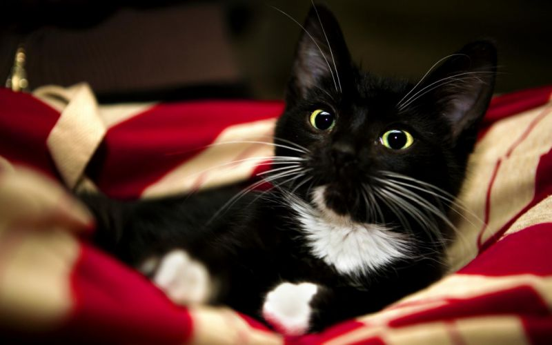 animals cats felines face eyes whiskers color wallpaper