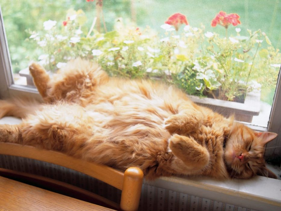 animals cats felines fur sleep face whiskers window flowers cute wallpaper