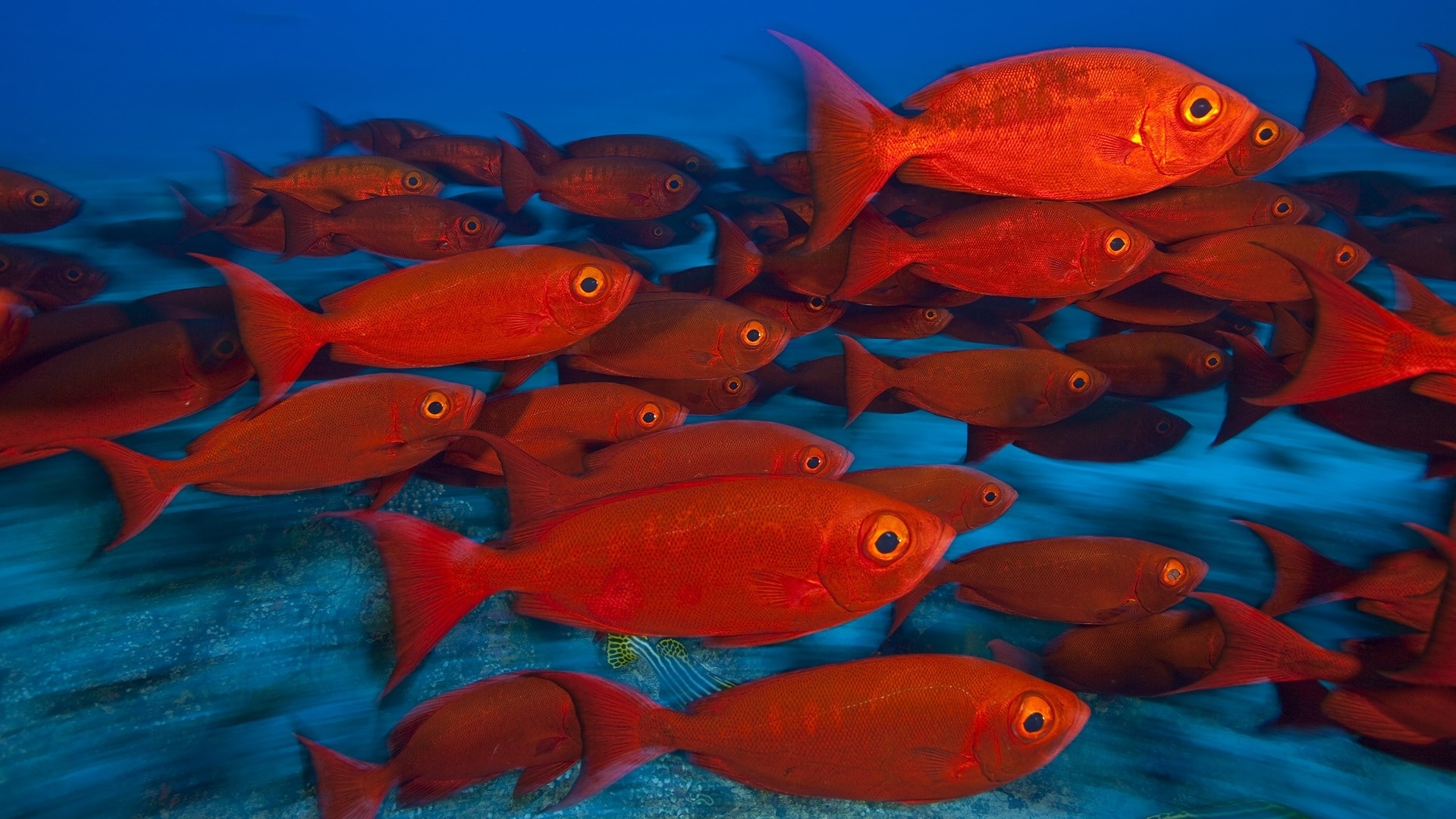 Animals fishes tropical red color eyes underwater sea for Wallpaper fish in water