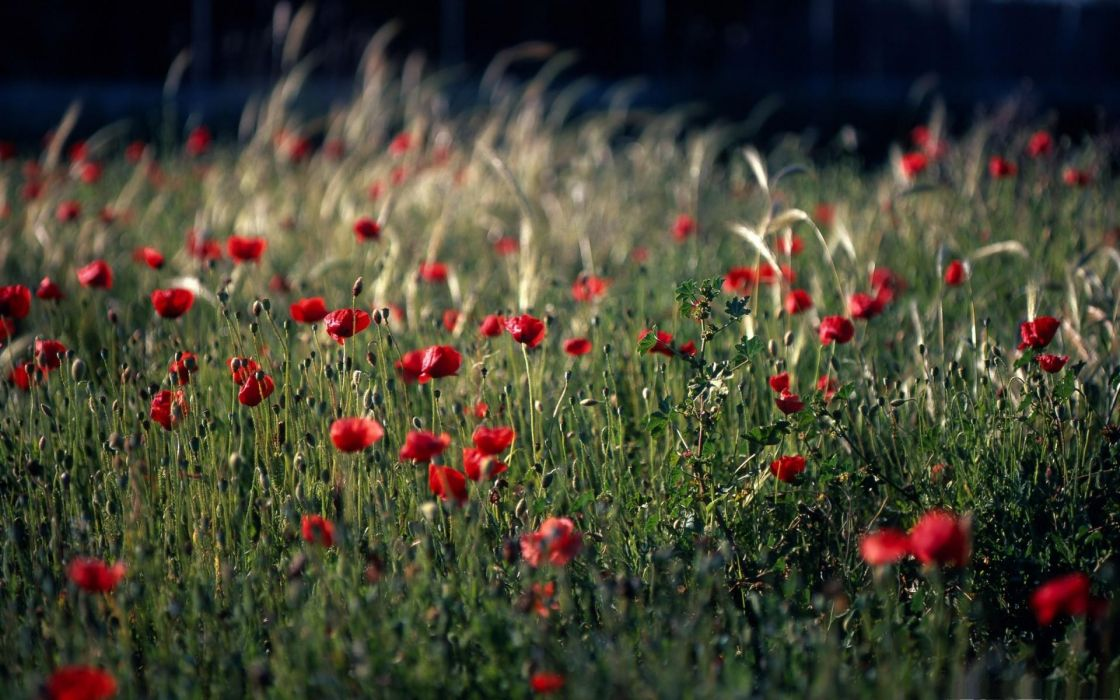 nature landscapes flowers poppies poppy plants grass fields color red macro wallpaper