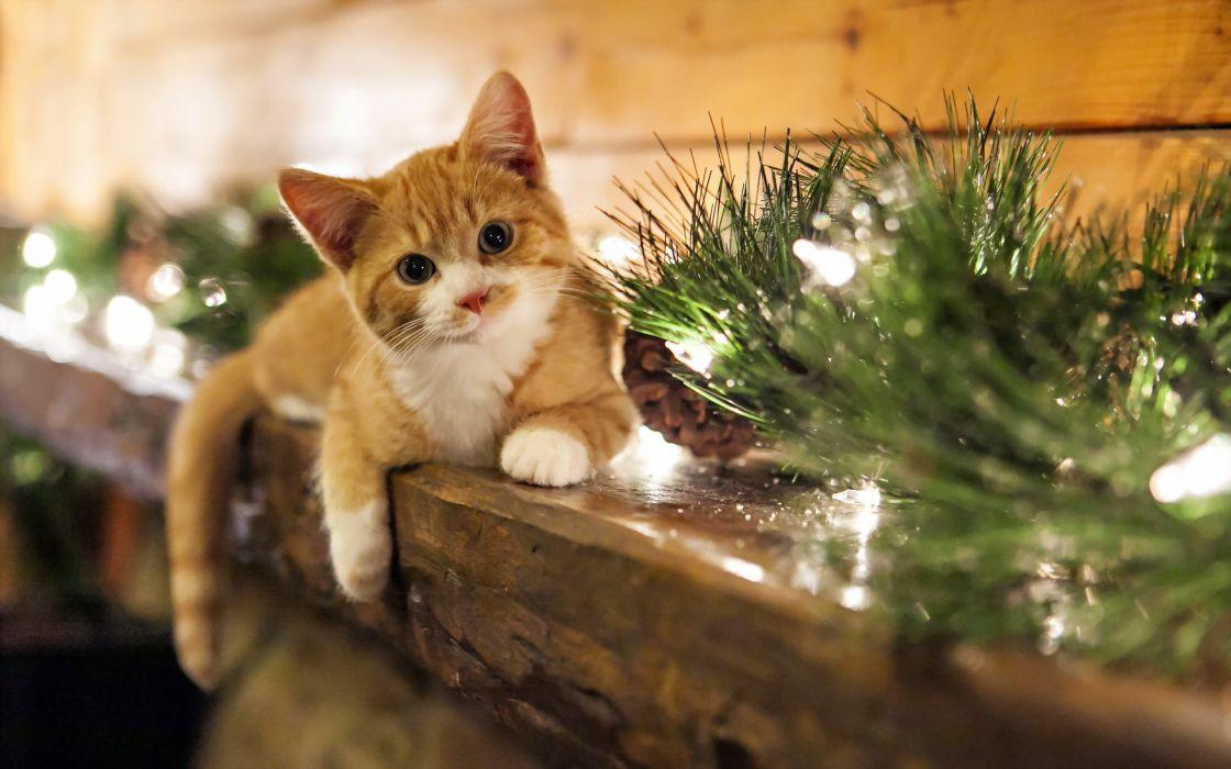 holidays christmas seasonal animals cats felines kittens face eyes whiskers wallpaper