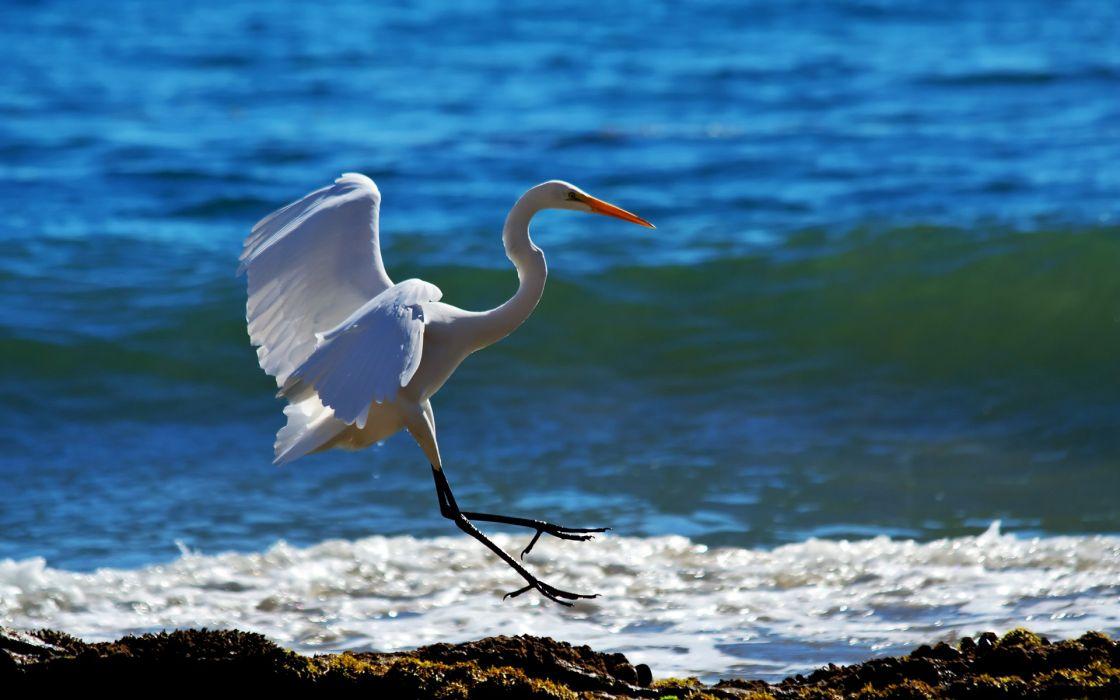 animals birds cranes herons flight fly beaches shore ocean sea lakes wildlife feathers waves foam sunlight wallpaper