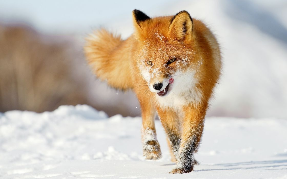 animals fox canines red winter snow seasons fur wallpaper