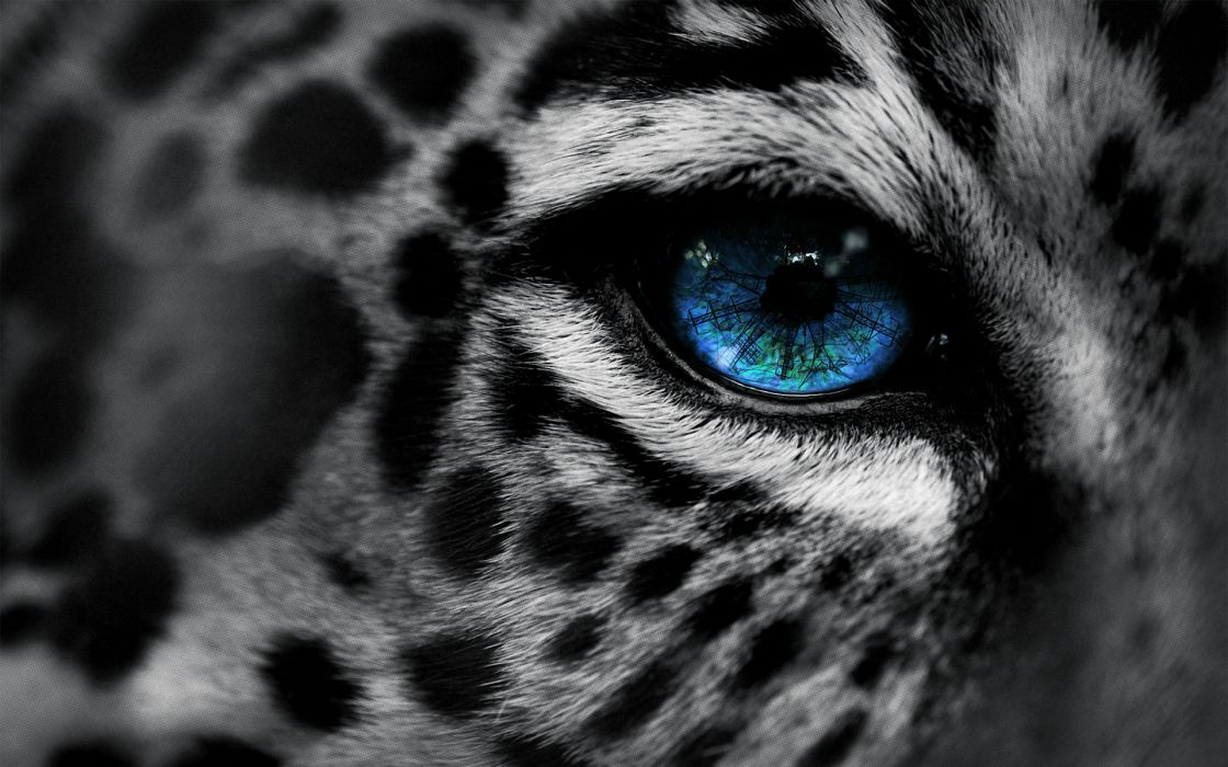 animals cats leopards predator face eyes spots selective color manipulation cg digital art architecture towers power electricity fur mood emotion sad sorrow blue wallpaper