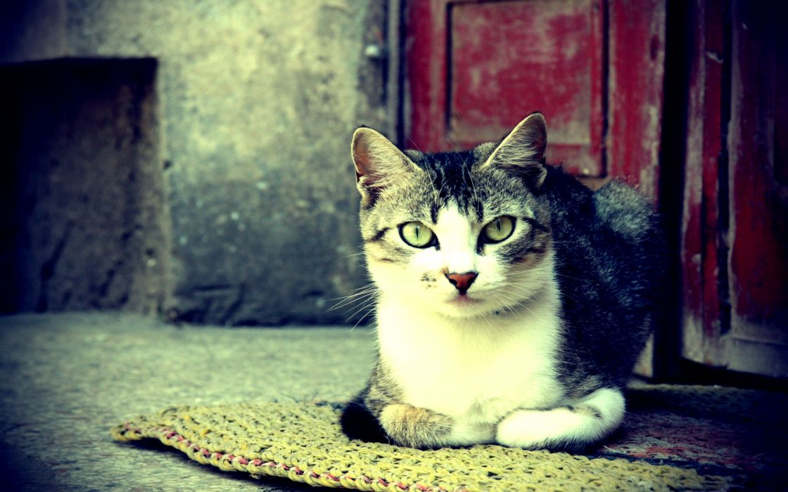 animals cats felines fur face eyes whiskers stare paws wallpaper