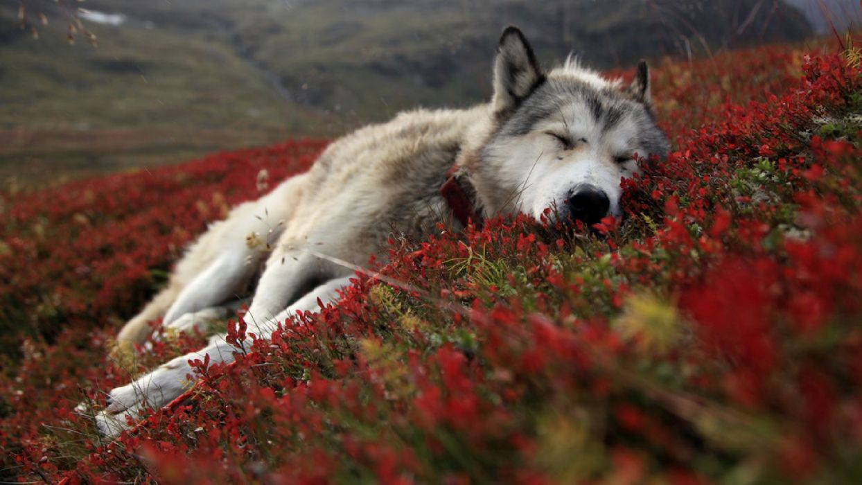 animals wolf wolves canines fur sleep rest prone face wildlife life predator nature landscapes artic tundra plants flowers hills mountains wallpaper